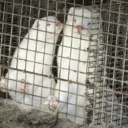 Danish Covid-19 mink variant could spark new pandemic, scientists warn -